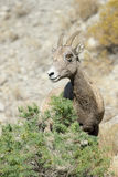 Bighorn sheep. On rocky slope at Yellowstone Stock Photos