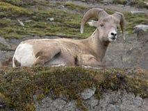 Bighorn Sheep. (Ovis canadensis) resting. Wilcox Pass, Jasper National Park, Alberta, Canada Royalty Free Stock Photography
