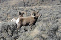Bighorn Sheep5 Fotografie Stock