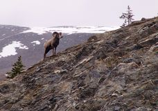 Bighorn sheep Royalty Free Stock Images