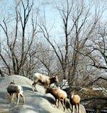 Bighorn Sheep. Buffalo Zoo,Buffalo,New York stock photos