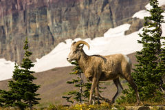 Bighorn Sheep. Young Bighorn Sheep in Alpine Setting Stock Images