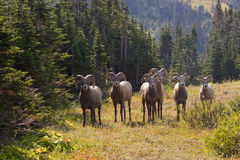 Bighorn Sheep. Band of Bighorn Sheep in Forest Setting Royalty Free Stock Photo