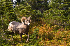 Bighorn Sheep. Large Male Bighnorn Sheep Emerging from Forest Stock Photo