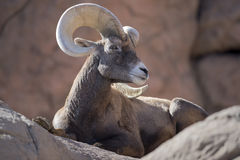Free Bighorn Sheep Royalty Free Stock Photos - 73215878