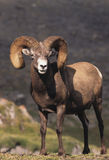 Bighorn Sheep. A full curl bighorn sheep standing proud Royalty Free Stock Photos
