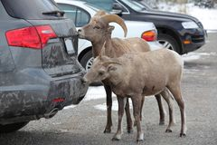 Bighorn sheep in Alberta, Canada royalty free stock images
