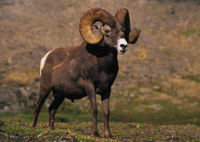 Bighorn Sheep in Alpine Royalty Free Stock Photo