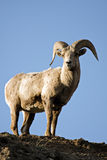 Bighorn Sheep Atop Cliff Royalty Free Stock Images