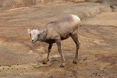 Bighorn sheep baby Stock Images