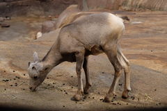Bighorn sheep baby Royalty Free Stock Photography