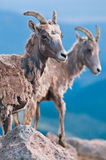 Bighorn Sheep Back From The Brink Royalty Free Stock Photography