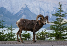 Bighorn Sheep in Banff National Park Royalty Free Stock Image