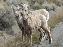 Bighorn Sheep, Bighorn Ram, Horns Royalty Free Stock Images