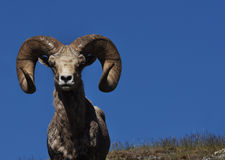 Bighorn Sheep with Blue Sky. A large bighorn sheep looking straight on with blue sky and field in the background royalty free stock image