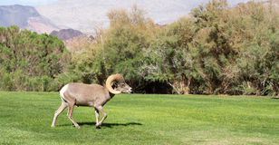 Bighorn Sheep. In Boulder City, Nevada stock photos