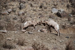 Bighorn Sheep. Butting heads in Yellowstone National Park Stock Photos