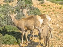 Bighorn Sheep with calf stock photography