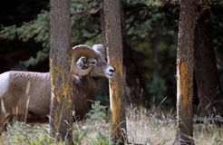 Bighorn sheep, Canadian Rockies. Along Maligne Lake road, Jasper National Park Stock Images