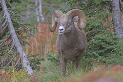 Bighorn Sheep Chewing its Food in the Mountains Stock Photos