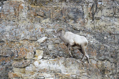 Bighorn Sheep on cliff, Royalty Free Stock Photos