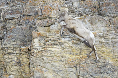 Bighorn Sheep on cliff, Stock Photo