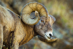 Bighorn Sheep. Close Facial Composition Of Large Mature Male Rocky Mountain Bighorn Sheep With Full Curl Horns Royalty Free Stock Image