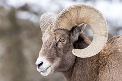 Bighorn Sheep Closeup. Closeup of Bighorn Sheep with snowy hill in background stock photos