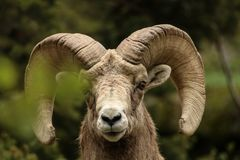 Bighorn Sheep in Colorado royalty free stock images