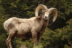 Bighorn Sheep in Colorado royalty free stock photography