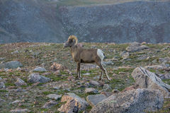 Bighorn Sheep in Colorado Mountains. Spotted on Mount Evans, along the highest road in the United States Stock Photo