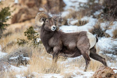Bighorn Sheep in Colorado. Bighorn Sheep in the Rocky Mountains of Colorado royalty free stock image