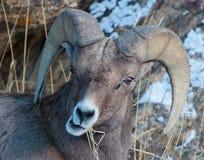 Bighorn Sheep in Colorado. Bighorn Sheep in the Rocky Mountains of Colorado royalty free stock photography