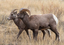 Bighorn Sheep in Colorado. Bighorn Sheep in the Rocky Mountains of Colorado royalty free stock images