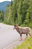 Bighorn sheep crossing road in the Rockies Stock Photos