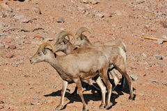 Bighorn sheep in desert Royalty Free Stock Images