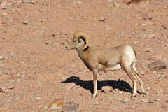 Bighorn sheep in desert Stock Photos