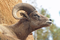 Bighorn Sheep. Desert sheep male ram close up portrait Stock Images
