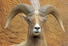 Bighorn Sheep. Desert sheep male ram close up portrait Royalty Free Stock Photos