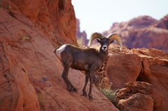 Bighorn sheep. Desert bighorn sheep on the mountainside Stock Photography