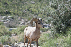 Bighorn Sheep in the Desert Royalty Free Stock Photos