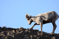 Bighorn sheep digging up roots Royalty Free Stock Photos