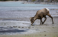 Bighorn Sheep drinking. A bighorn sheep drinks from a mountain lake in Jasper national park, Canada Stock Photos
