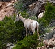 Bighorn Sheep #2. This is an early Spring picture of a Bighorn Sheep in the Colorado National Monument located in Grand Junction, Colorado.  This picture was stock photography