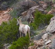 Bighorn Sheep #3. This is an early Spring picture of a Bighorn Sheep in the Colorado National Monument located in Grand Junction, Colorado.  This picture was stock images