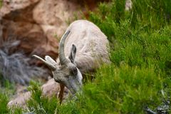 Bighorn Sheep #4. This is an early Spring picture of a Bighorn Sheep in the Colorado National Monument located in Grand Junction, Colorado.  This picture was stock photos