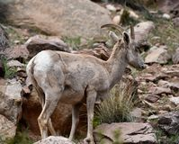 Bighorn Sheep  5. This is an early Spring picture of a Bighorn Sheep in the Colorado National Monument located in Grand Junction, Colorado.  This picture was royalty free stock photos