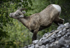 Bighorn Sheep eating. A bighorn sheep ewe eats leaves in Jasper national park, Canada royalty free stock image