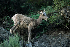 Bighorn sheep ewe Royalty Free Stock Photography