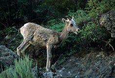 Bighorn sheep ewe Royalty Free Stock Photography